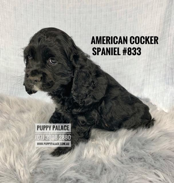 PUPPIES CURRENTLY FOR SALE IN STORE NOW | Puppy Palace