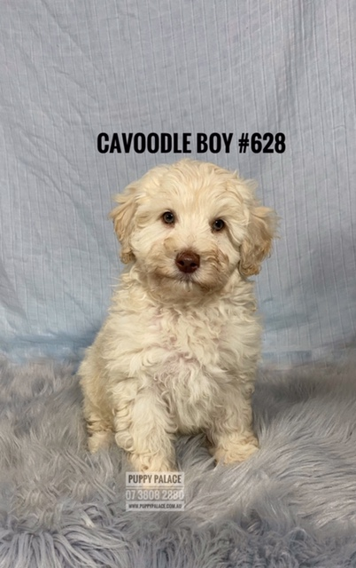 Toy Cavoodle (Toy Poodle X Cavalier) Puppies